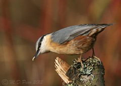 European Nuthatch (Sitta europaea) (M.D.Parr) Tags: uk england bird english nature birds closeup britain beds bedfordshire british nuthatch ornithology sittaeuropaea europeannuthatch stockgrovepark martindparr mdparr