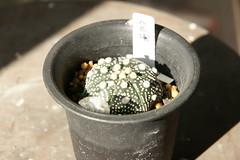 Astrophytum asterias cv. superkabuto star shape 八爪兜 (smalla) Tags: star shape cv astrophytum asterias superkabuto 八爪兜
