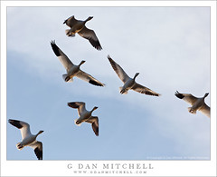 Ross's Geese, Winter Sky (G Dan Mitchell) Tags: california blue winter usa cloud snow nature birds america print fly geese san wildlife flock north stock group central flight wing merced goose joaquin national valley license migratory feature refuge nwr rosss