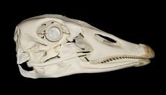 Crâne d'Oie / Goose Skull (Anser anser domesticus) (JC-Osteo) Tags: skulls skeleton skull aves goose collection bones bone anser anseranser crâne oie skelett anatidae squelette osteology ostéologie jctheil