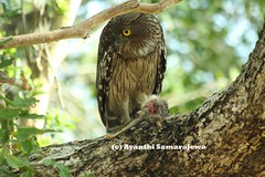 Brown Fish Owl feeding on a Loris (Blue.Magpie) Tags: birds ketupazeylonensis