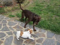 Sticking (DrPhotoMoto) Tags: dog leo maggie stick
