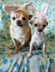 Happy Easter from the Chihuahuabunnies (EllenJo) Tags: dog pets chihuahua silly bunnies simon puppy easter april canonrebel floyd bunnyears digitalimage 2014 rabbitrabbit april17 chihuahuapuppy ellenjo ellenjoroberts dogsindisguise editedwithpicmonkey thelittledoglaughedtellstories
