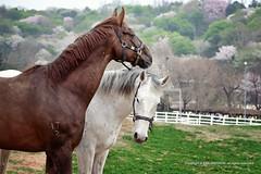 Goyang_20140412 at 15-26-16_Edit.jpg (Kim Jaehoon) Tags: ranch horse brown green animal photography spring southkorea gyeonggido goyangsi photographersontumblr originalphotographers