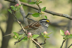 white throated sparrow at montrose (BobRobin) Tags: chicago sparrow montrose lincolnpark whitethroatedsparrow