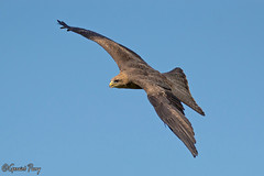 Yellow-billed Kite (parry101) Tags: kite bird nature birds animal animals yellow for centre kites international prey billed icbp