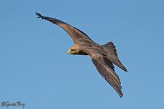 Yellow-billed Kite (parry101) Tags: kite bird nature birds animal animals yellow for centre kites international prey billed icbp