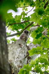 DSC00456-58_HDR (Capt Kodak) Tags: spring owl photomerge nationalparkservice fledgling barredowl strigiformes owlet strixvaria chattahoocheerivernationalrecreationarea niksoftware medlockbridgepark hdrefexpro2 nikcollectionbygoogle