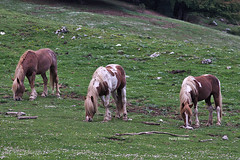 Triplet (RoyBatty83) Tags: wild horses green nature colors pentax wildlife m42 jupiter cavalli manualfocus wildhorses k5 graze 135mm naturephotography sauro fixedlens intothewild pascolo taburno russianlens sovietlens jupiter37am vintagelenses camposauro taburnocamposauro pentaxk5 jupiter37am135mmf35