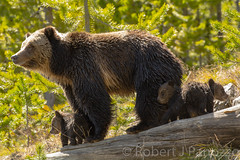 Checking it out (ChicagoBob46) Tags: cub yellowstonenationalpark yellowstone cubs grizzly coy grizz grizzlybear