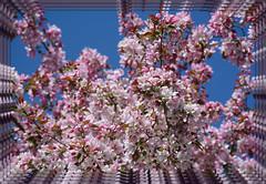 <> Spring Flowering Splendor - IV. <> (Wolverine09J ~ 1 Million + Views) Tags: floweringcrab pinkblossoms floralfantasy cultiver heartawards springfloral colorphotoawardpremier shieldofexcellencelevel1 thelooklevel1red rainbowofnaturelevel1red aprilfloraandfungi