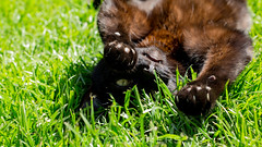 Playtime (amysummers) Tags: sun 3 black cute green grass cat canon lens fur photography 50mm photo eyes photographer play amy image time sweet mark no gorgeous flash picture kitty sunny pic photograph 5d manual paws fangs playful pussycat summers