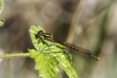 It's Nearly Summer! (me'nthedogs) Tags: somerset damselfly levels westhay largered