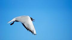 Headed Gulls (perottostenberg) Tags: hettemke fuglerslikt