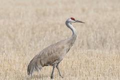 Sandhill Crane (mobull_98) Tags: crane sandhillcrane may42016hecla600