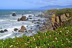Sonoma Coast (ivlys) Tags: ocean california usa nature landscape coast rocks pacific hottentotfig landschaft kste felsen sonomacoast mittagsblumen carmetbeach ivlys highwaynumber1north