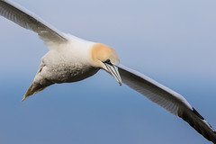 Gannet in flight (ToriAndrewsPhotography) Tags: photography andrews yorkshire cliffs tori gannet bempton