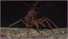 Lysmata 100114 (JuanAnd-erwater) Tags: crustaceos