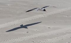 P5084577 (Mark J. Stein) Tags: bird beach sand seagull flight shore jerseyshore margate 2016 beachphotography photobymarkjstein photobymarkstein