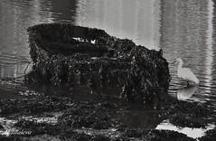 Abandonada (lourdestorreira) Tags: mar barca vieja antigua algas abandonada ra pesquero
