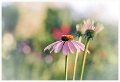 Echinacea (Anita Waters) Tags: lake flower film kodak echinacea olympus 200 simplicity analogue melancholy minimalism narrabeen bokek om2n colorplus