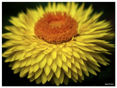 Natures 3D (Manoj D'Souza) Tags: orange plant black flower nature yellow three petals 3d natural australia brisbane petal pollen zinnia dsouza dimensional manojdsouza dsouzaphotography