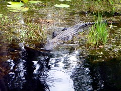 Okefenokee Swamp 2016 pic19 (michaelyouhas) Tags: sky nature water birds georgia moss swamp okefenokee boating cypress alligators 2016 folkston youhas