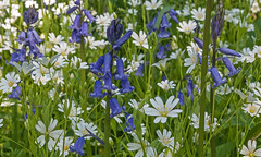 Bluebells and Stitchwort (DWH284) Tags: bluebells durham wildflowers stitchwort tursdalewoods