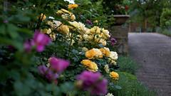 In my rose garden (Xenograft) Tags: david english rose yellow 35mm austin garden anne julia princess pentax da childs floribunda f24 smcpentax