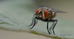 house fly (kaizen.deepakumd) Tags: macro closeup insect fly insects micro housefly insectlife