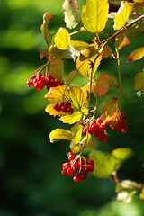 Fruits d'automne ** (Titole) Tags: red berries rouges baies friendlychallenges thechallengefactory titole nicolefaton