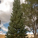 White Fir, Taos Plaza