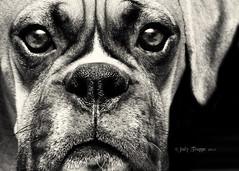 Good Boy Clyde (dog ma) Tags: portrait blackandwhite bw dog pet 6 mos puppy ma 50mm clyde nikon canine f