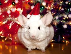 Chinchilla Santa (wisely-chosen) Tags: december chinchilla lightning christmastrees santahat 2011 canonspeedlite430exii pinkwhitechinchilla adobephotoshopcs5extended