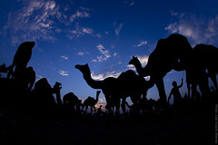 Camels at Sunset (Captain Suresh Sharma) Tags: silhouette marketplace domesticanimals rajasthan ruraleconomy pushkarcattlefair animalsforsale camelsatsunset animalsfortrading ruralmarketplace