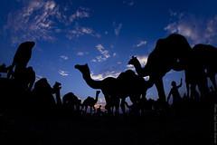 Camels at Sunset (Captain Suresh Sharma) Tags: silhouette marketplace domesticanimals rajasthan ruraleconomy pushkarcattlefair animalsforsale camelsatsunset animalsfortrading ruralmarketplace