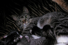 Come Back at a Better Time (NTFlicker) Tags: kittens nursing tabbycat nikoncoolpix8800 5daysold