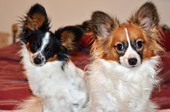 Maxx and Cody (Pappup2010) Tags: dog pet white black color cute animal butterfly puppy toy small sable ears canine papillon tricolor pup breed tri pap toybreed  butterflydog whiteandsable