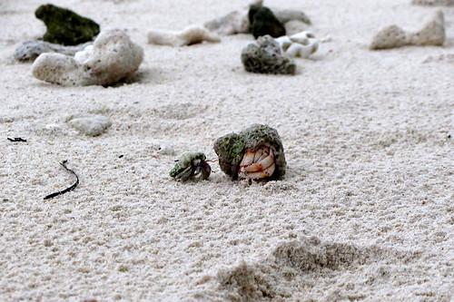 Juvenile Strawberry Land Hermit Crab