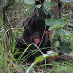 "Baby Chimp <a style=""margin-left:10px; font-size:0.8em;"" href=""http://www.flickr.com/photos/14315427@N00/6505625707/"" target=""_blank"">@flickr</a>"