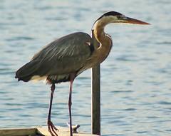 Ahoy There!!!! (chumlee10) Tags: park county blue lake bird heron water rock illinois dock state cut sony il pierce rockford winnebago a300 mygearandme