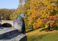 Pigeon in the Autumn (MauriceVanGestel Photography) Tags: park parque autumn trees orange color tree bird fall colors birds animal animals yellow bomen lets pigeon pigeons herfst vogels baltic boom latvia blad autumncolors blaadjes states geel let riga staten lv vogel latvian herfstkleuren oranje balticstates duiven kleur lettland  duif kleuren rga latvija bladeren rudens letonia  letland colorsofautumn vecriga rigalatvia latvijas baltisch rigalatvija   baltischestaten vallendblad rigalv balodis rigaletland parkriga autumnriga rudensriga vecrigariga herfstriga parqueriga dzvnieku fallriga herfstkleurenriga colorsautumnriga lvlatvija lvlatvia
