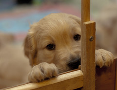 Come and play with me! (pe_ha45) Tags: dog chien goldenretriever pups cachorro cucciolo cachorra welpe whelps