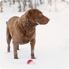 [Explored!] (sweethardt) Tags: winter red dog snow cold ball play retriever fetch chesapeake explored