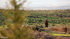 The Shepherd Lonely (Haqqoo) Tags: poverty life voyage trip travel nature animal canon landscape geotagged eos algeria sheep shepherd poor journey algerie setif nationalgeographic 250mm 550d flickraward theperfectphotographer dzflickrs eos550d haqqoo