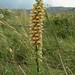 "Digitalis ferruginea L., Plantaginaceae • <a style=""font-size:0.8em;"" href=""http://www.flickr.com/photos/62152544@N00/6596771771/"" target=""_blank"">View on Flickr</a>"