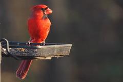 By Afternoon Light (KYGirl Photography) Tags: male bird backyard cardinal kentucky