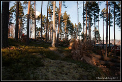 Fallen Trees (mmoborg) Tags: trees storm sweden fallen sverige träd christmasday dagmar 2011 tallar fallna mmoborg mariamoborg rotvältor christmasdaystorm