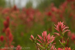 "Indian Paintbrush • <a style=""font-size:0.8em;"" href=""http://www.flickr.com/photos/63501323@N07/6638473451/"" target=""_blank"">View on Flickr</a>"
