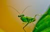 Mentadak (wmzani) Tags: macro insect nikon bugs mentadak d7000 doubleniceshot tripleniceshot